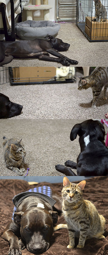 Thanos the pit bull befriends the cat