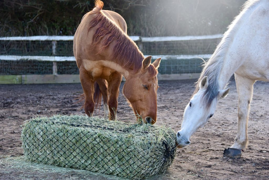 Horses eating from hay net