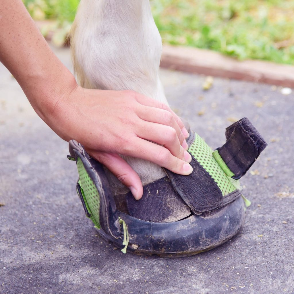 putting on cavallo hoof boot tightly