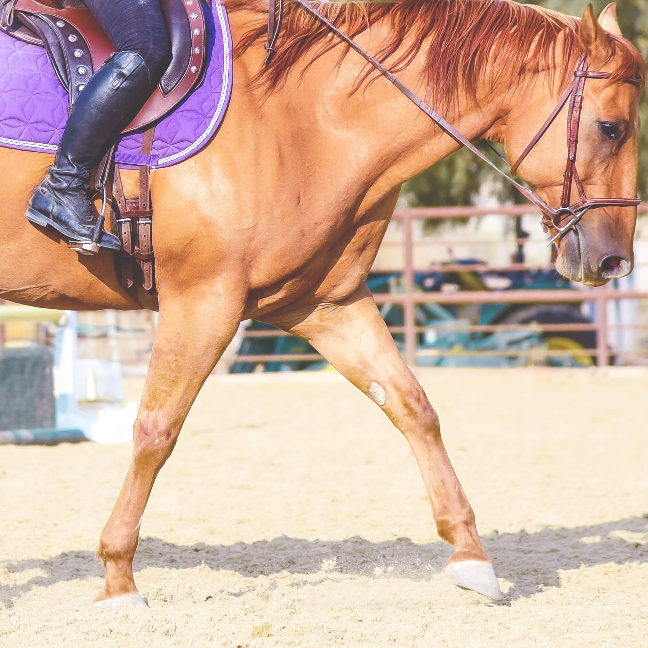 horse schooling trot